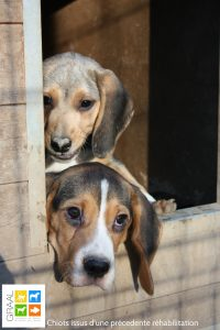 chiots-cp_graal
