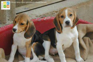 chiots-beagles-oyonnax_pour-cp